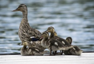 Family of ducks on a dock. Baby duckling calling for mother.
