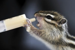 Small chipmunk sucking